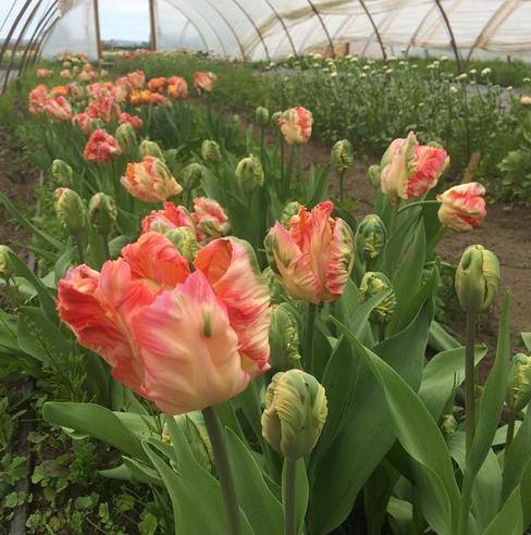 floret farm.parrot tulips