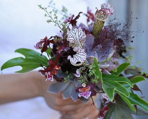 sarracenia.cobra lily