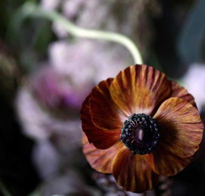 Brown ruffled ranunculus