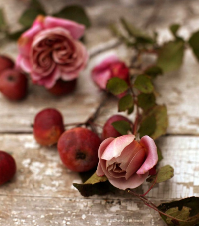 Distant Drums garden roses with farm apples