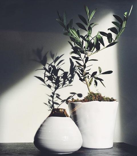 cymbidium floral. olive trees